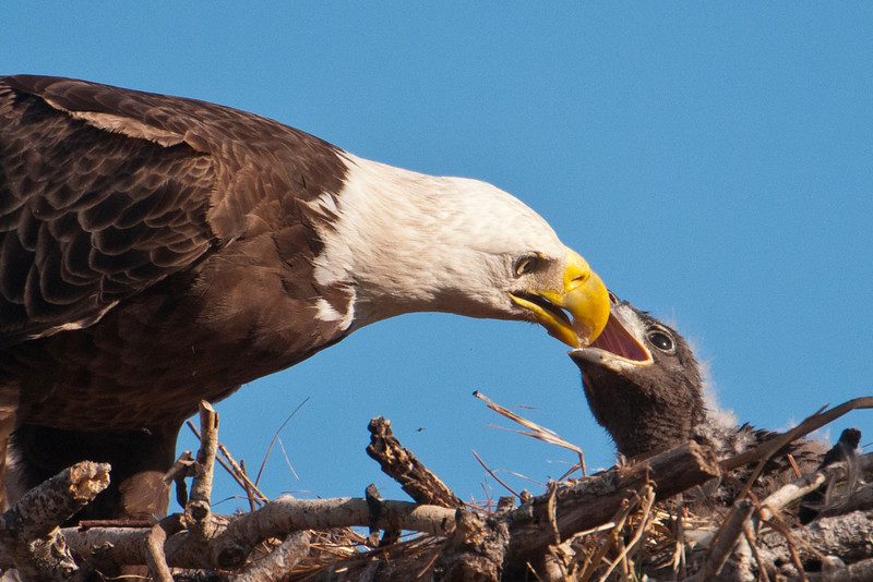 One baby Eagle was in the nest.  This adult brought a fish and was feeding the baby.  It's really fascinating to watch this large, powerful bird tear off tiny pieces and gently give them to the little one.
