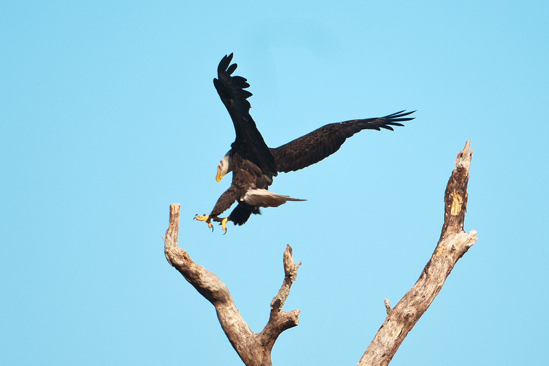 Here's one of the adults landing on a nearby tree.