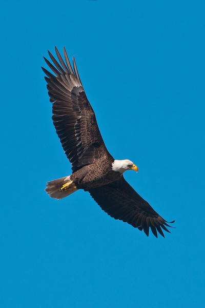 This Eagle is soaring overhead and has its head turned so it can get a better view of the ground below.