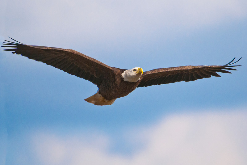 Here's one of the adults gliding through the air near the nest.