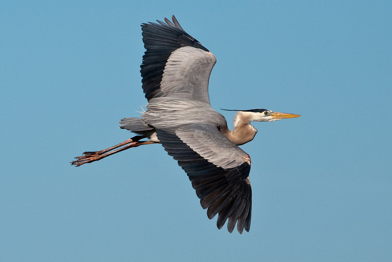 There were many Great Blue Herons at the wetlands, and, with the clear blue sky, I was able to get lots of nice flight shots.