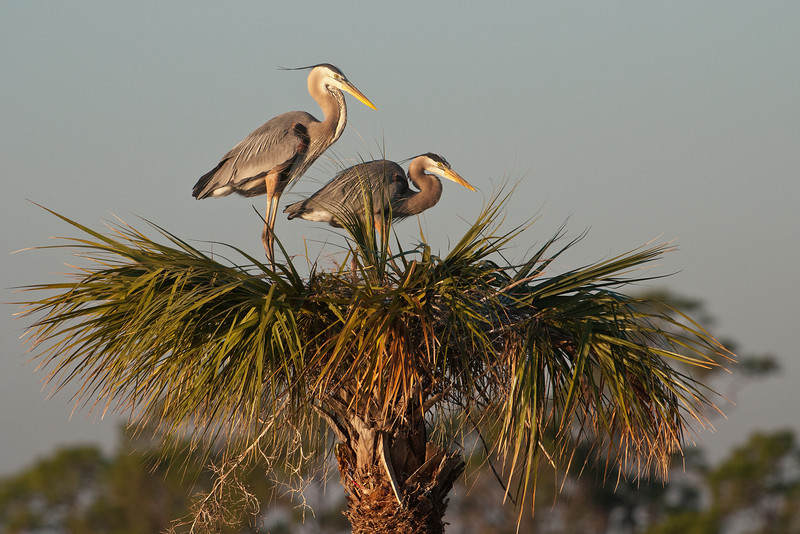 Just like the Anhingas in last week's photos, the herons were occupying the tops of palm trees.  This tree was staked out by a pair of herons as a good place to build their nest.