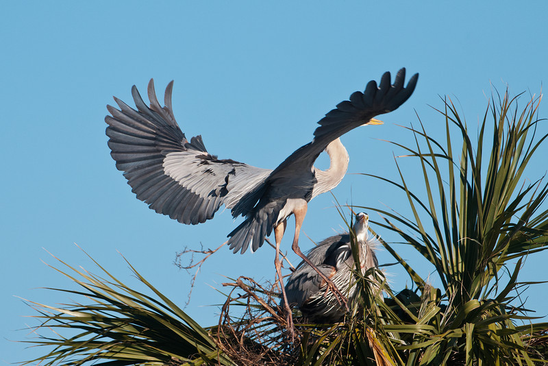I witnessed an interesting courtship drama.  There was a heron sitting on top of a different tree.  Although you can't visually tell a male heron from a female, I'm assuming this was a female, because the male is usually the one who goes off and gathers nesting material.  A second heron flew in and was attempting to land.