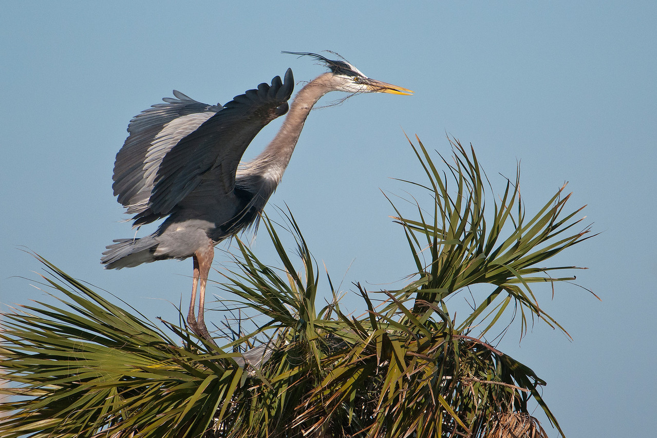 Here's another heron arriving back at its nest with a stick.