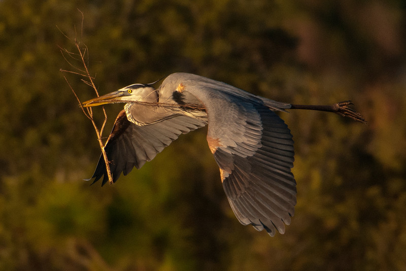 At Vierra Wetlands (see last week's pictures), Great Blue Herons were starting to build their nests.  They are large birds and use pretty big sticks as construction materials.  Here's one of them bringing back a good-sized branch.