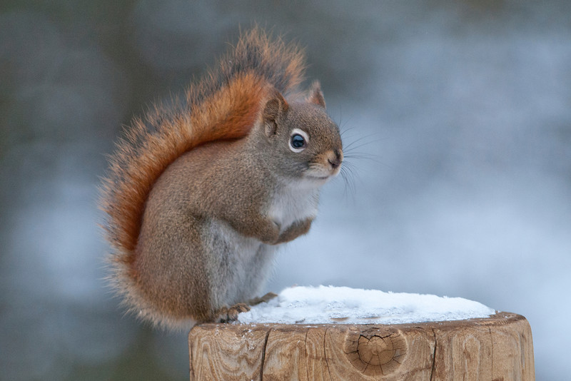 No, this isn't from Florida.  I didn't have a chance to use this photo before, so I just had to include it now.  This is a Red Squirrel at our home in northern Minnesota.
