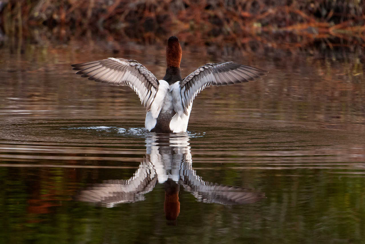 Here's one of the Canvasbacks stretching his wings.  Because they are hunted, it's no surprise that ducks are often wary of people.  Getting a chance to be this close to them was a real treat.