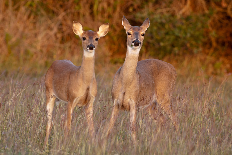 "One of the most widely recognized mammals in the United States is the White-tailed Deer.  I took this photo in the early morning light at Aransas National Wildlife Refuge near Rockport, Texas.  The one on the left appears to be smaller and more ""dainty,"" which leads me to believe it is this year's fawn.  If that's correct, it had already lost the spots that a fawn has."