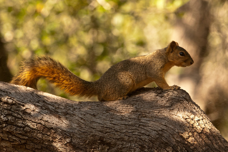 The Eastern Fox Squirrel is found in most of the United States east of the Rockies.  It's about twice as large as the more common Gray Squirrel.  This one was trying to raid the bird feeders at Goose Island State Park in Rockport, TX.