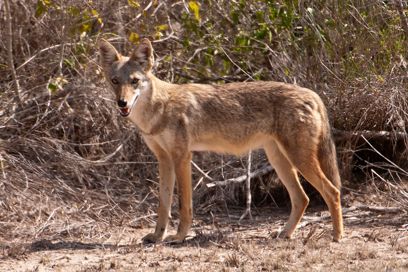 I had a brief look at a Coyote when I was photographing at Laguna Seca Ranch.  Unfortunately, it was gone before I could get a photo.  This one, however, posed right out in the open near the visitor center at Laguna Atascosa NWR.