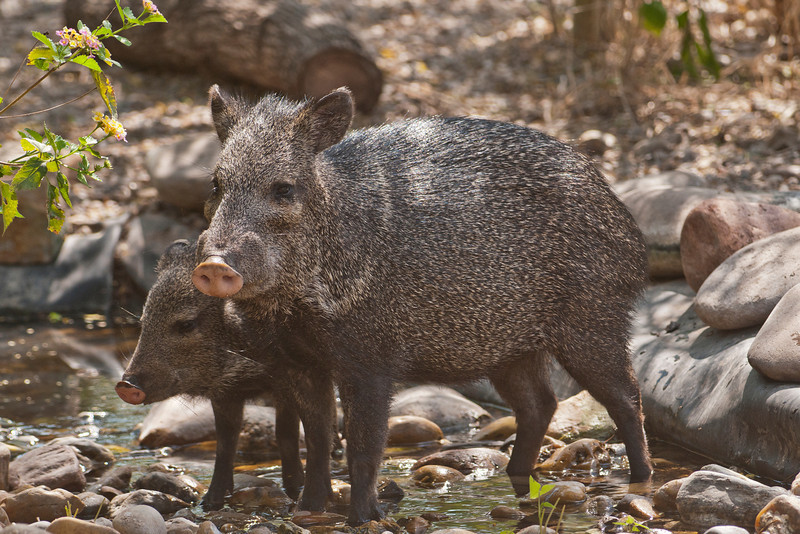 I was walking to the Laguna Atascosa NWR picnic area to eat my lunch when I came upon these Collared Peccaries (also known as Javelina).  I quickly went back to my car to get my camera.  Fortunately, they were still there when I got back.  This is actually a tropical species but its range extends into southern Texas and Arizona.