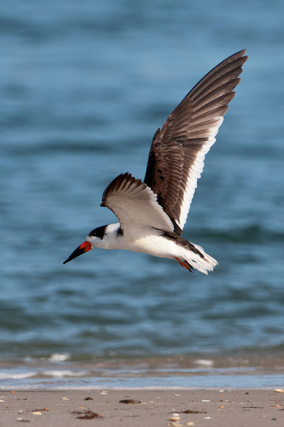 One of our favorite places to visit when we are in Florida is St. George Island State Park.  At the park this year I was able to photograph some Black Skimmers.  They have a very unique beak; the upper mandible is shorter than the lower one.  They fly just above the surface of the water with their beaks open: lower mandible in the water and the upper one above the water.  When they make contact with a small fish, the upper mandible snaps down to trap the fish.