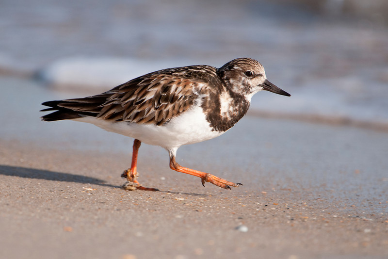 Ruddy Turnstones are found here in the winter.  In spring, they will fly to the high Arctic tundra to nest and raise their young.