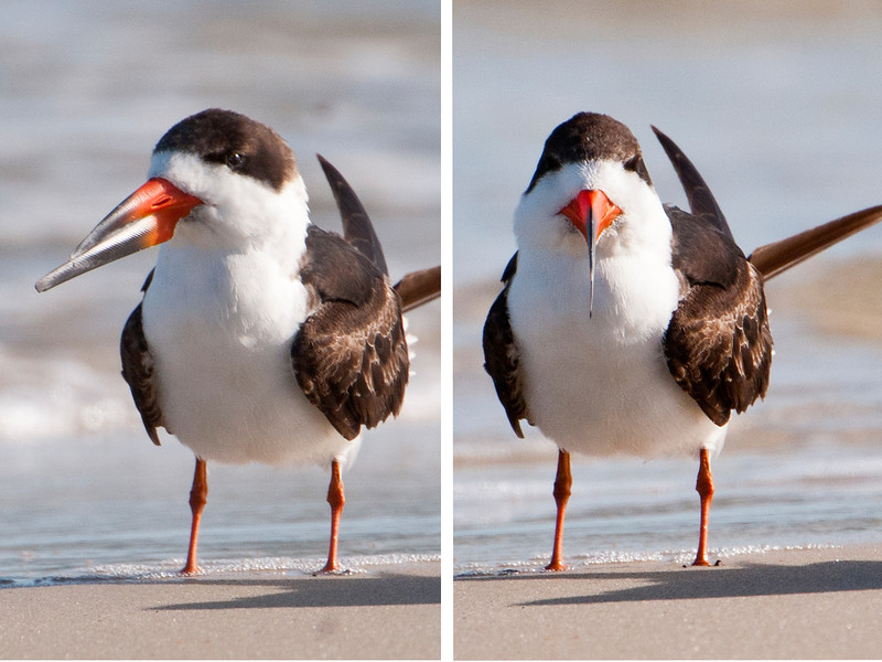 """This photo shows the difference in length of the upper and lower mandibles.  Seen from the side, the bill looks thick and very sturdy.  However, as the photo on the right shows, it is quite thin and knife-like.  Several years ago, some Black Skimmer photos that I took showed me how different the front and side views appeared.  It was so interesting that I have since made an effort to get front and side views of all the birds I photograph.  I call these my """"mug shots"""" and have a special gallery of them on my web site.  Here's a link to those photos.  <a href=""""http://www.earlorfphotos.com/Did-You-Know/Bird-Mug-Shots/6582548_H3z566#!i=419243230&k=NUHjj"""">http://www.earlorfphotos.com/Did-You-Know/Bird-Mug-Shots/6582548_H3z566#!i=419243230&k=NUHjj</a>"""