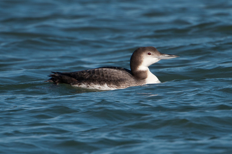 Many Minnesotans wouldn't recognize this as our state bird, the Common Loon.  We're used to seeing them with their striking black and white breeding plumage.  During the winter, our lakes freeze over; loons migrate to coastal areas where they are seen in drab, gray, non-breeding plumage like this one.