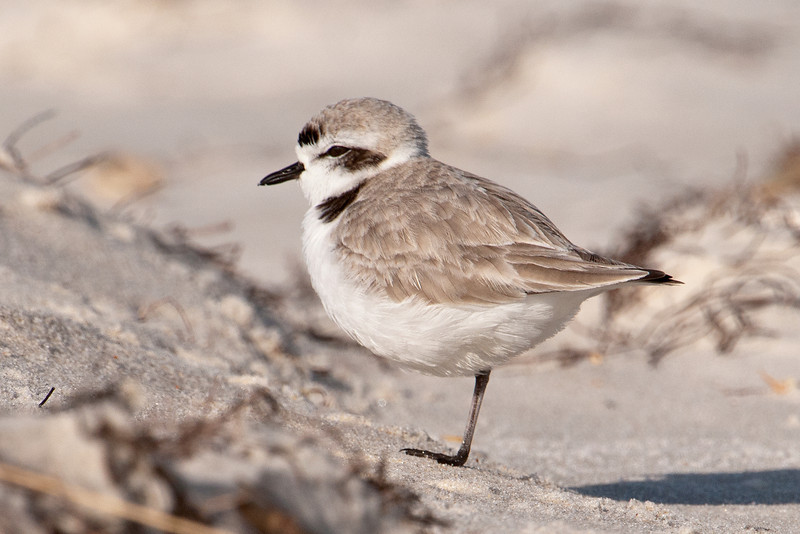 """Here's a closer look at one of the Snowy Plovers, resting on one leg.  It's about 6 ½ inches long and already sporting its summer plumage; the dark band across the forehead, the dark patch behind the eye, and the dark """"shoulder"""" patch.  Some of the birds in the previous photo (especially those on the left side) are still in winter plumage."""