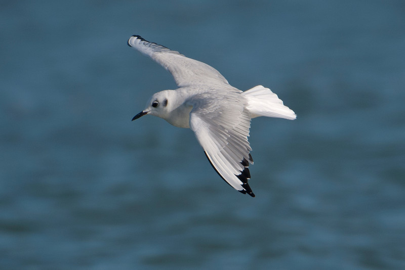 Here are some more interesting facts about Bonaparte's Gulls.  They are the smallest gull regularly seen across North America (about 13 ½ inches).  You seldom find them in garbage dumps with other gulls.  They build their nests in coniferous trees, not on the ground, in isolated Canadian and Alaskan forests.