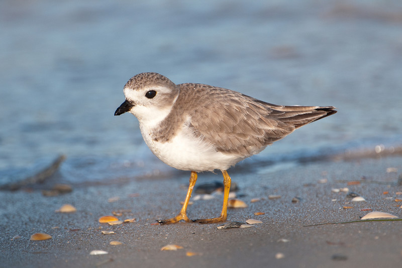 I also found one Piping Plover in the area.  They are just slightly bigger than a Snowy Plover but two field marks make it easy to tell them apart.  First, the Piping Plover has orange legs and the Snowy has black legs.  Also, the bill of the Piping Plover is short and thick while the Snowy has a thin and somewhat longer bill.