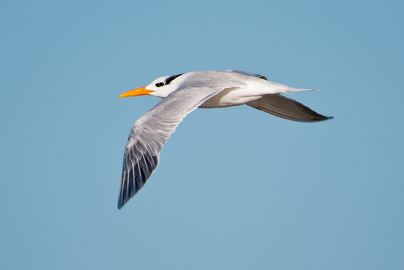 Royal Terns are rarely found inland; they are mostly coastal inhabitants.  Their feeding pattern is to fly along the shoreline and dive into the water when they spot something good to eat.