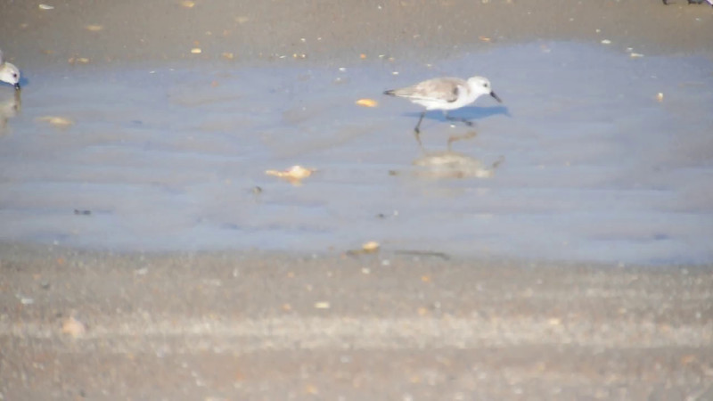 Here's a short video showing a group of Sanderlings feeding along the shore.