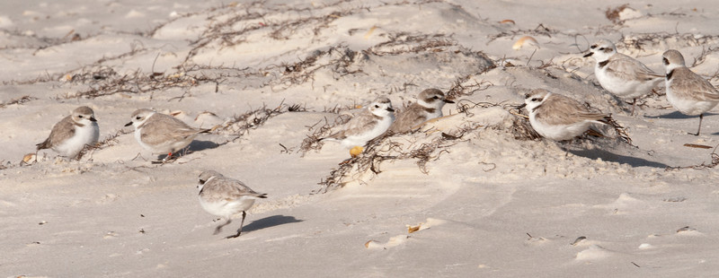 There are actually 8 Snowy Plovers in this photo.  When they are not feeding, Snowy Plovers tend to hang out away from the shore, near the sand dunes.  You can see how well they blend in with the pale, dry sand and the short vegetation.  All of today's photos were taken at the far eastern end of St. George Island State Park in Florida.