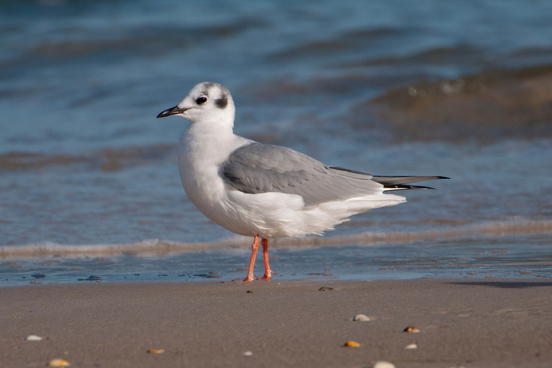 Several kinds of gulls are here in the winter.  This is a Bonaparte's Gull.  Their winter plumage (shown here) always makes me think they are wearing black ear muffs.  This species was named after the French zoologist Charles Lucien Bonaparte, a distant cousin of Napoleon.