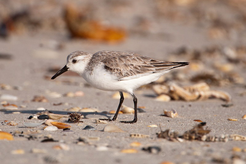 This study of coastline birds wouldn't be complete without a photo of a Sanderling.  Looking like speedy wind-up toys, they chase the waves in and out along the shore looking for tiny items of food.  Sanderlings spend winters along our coasts but in summer they go to the far reaches of the Canadian tundra to nest.