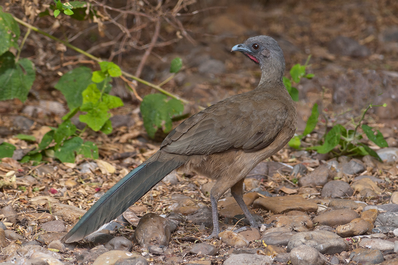 The Plain Chachalaca is another tropical species that is found only in southern Texas in the U.S.  It's a chicken-sized bird with a long tail.  The Chachalaca spends a lot of time in trees where it eats berries, seeds, leaves, and insects.  It's a very noisy bird and groups of them can be annoying if they start calling at dawn.  Note the bare, red, throat skin which indicates a breeding male.  This photo was taken at Laguna Atascosa NWR.