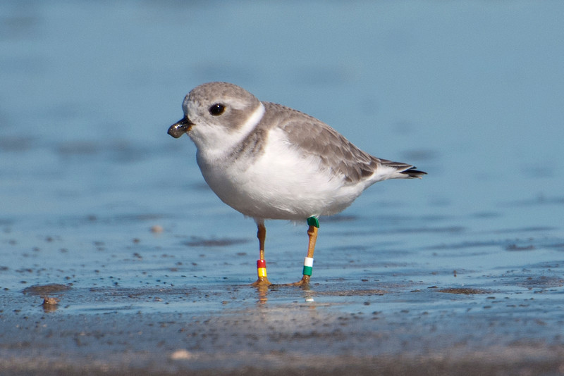 "At Galveston Island State Park, I took this picture of a Piping Plover.  After I downloaded it to my computer, I could see that it had lots of ""jewelry.""  Piping Plovers are endangered, so some of them are banded to help researchers find out more about their location and habits."