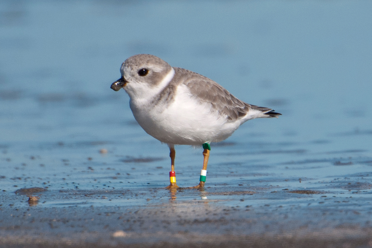 """At Galveston Island State Park, I took this picture of a Piping Plover.  After I downloaded it to my computer, I could see that it had lots of """"jewelry.""""  Piping Plovers are endangered, so some of them are banded to help researchers find out more about their location and habits."""