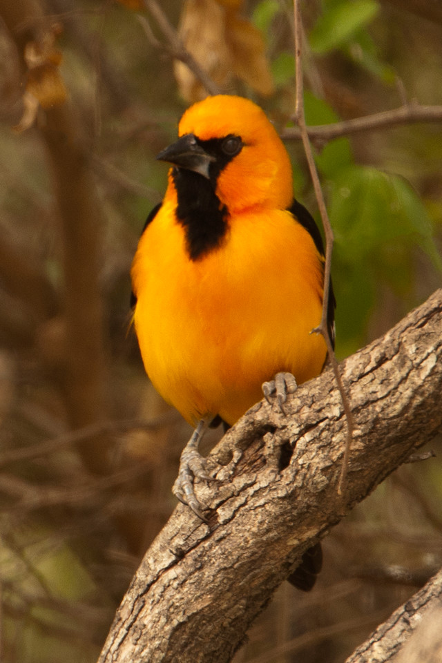 This Altamira Oriole, seen at Bentsen State Park, was another bird I added to my life list.  Males and females look alike.  At 9 to 10 inches, it is larger than a Baltimore Oriole.  Both of these orioles build a hanging, woven nest.  The nest has an opening at the top and can be up to two feet long.  I know this is repetitive, but the Altamira Oriole is another species found, in the U.S., only in the Rio Grande Valley.  (That's why southern Texas is such a great destination for birders.)
