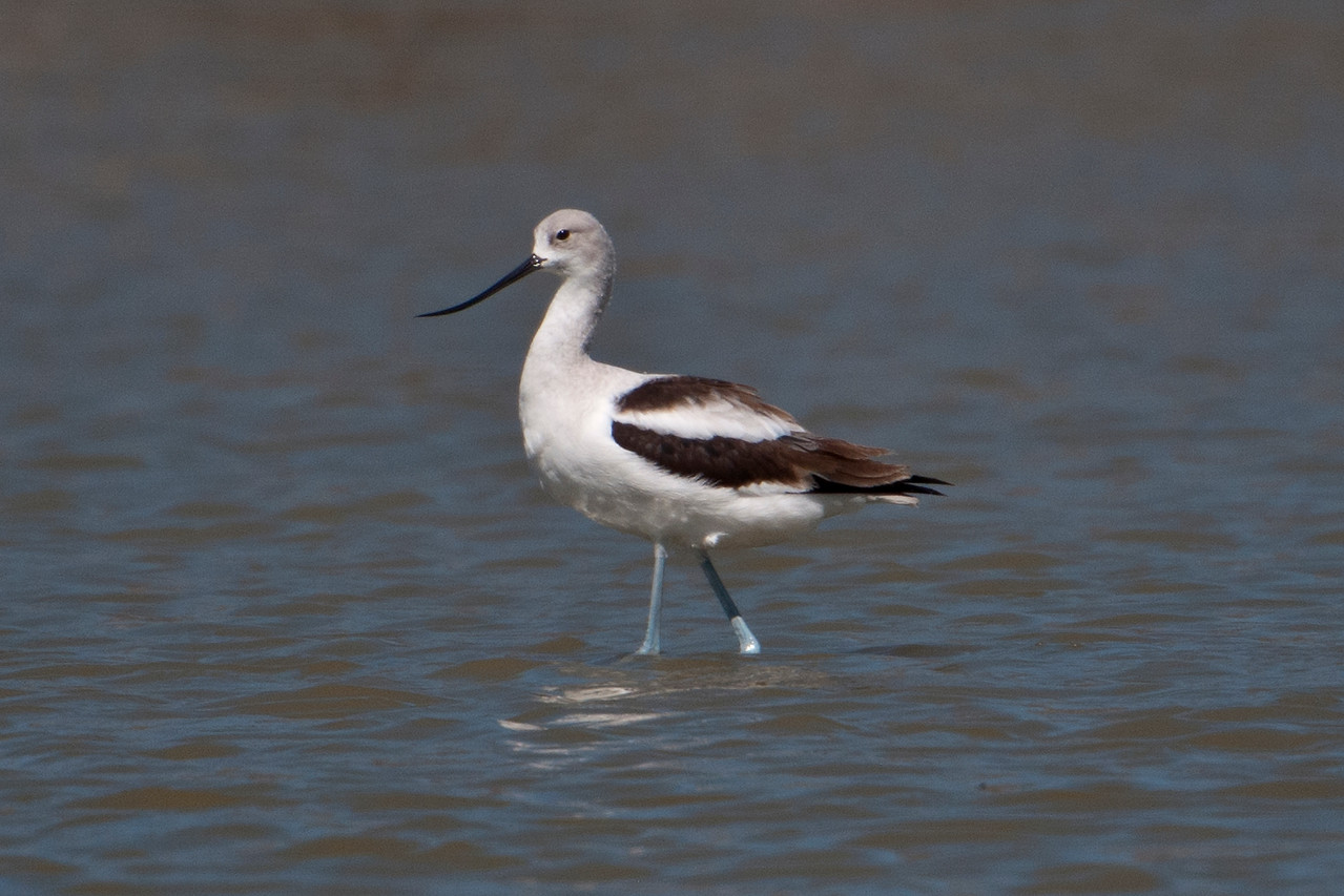 American Avocets are usually found wading in the shallow areas of ponds, lakes, and coastlines.  They sweep their upturned bill through the water to snatch insects and small crustaceans.  This bird, found at Santa Ana NWR, is displaying its non-breeding plumage.  During the summer, the head and neck will take on a cinnamon color.