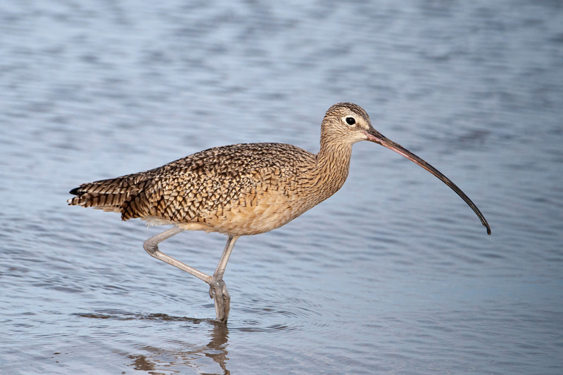 This Long-billed Curlew is certainly named appropriately. Although it is our largest shorebird (23 inches), it is just as likely to be found in a field as along the shore.  The bird's diet consists mainly of insects, but along the shore it also eats crabs, crayfish, and mollusks.