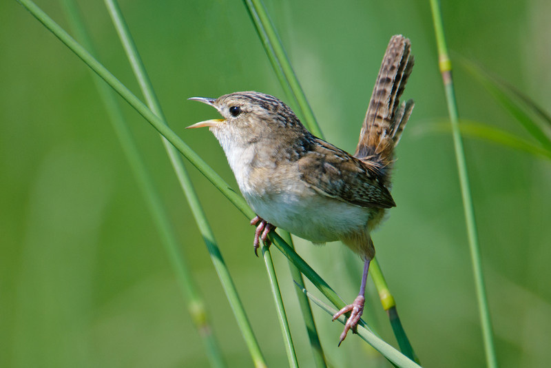 Sedge Wrens are pretty common in our part of northern Minnesota.  This one was found on a county road a few miles south of our home.  When they are singing or displaying, most wren species hold their tails in a cocked position like this one is doing.  But take a look at the next photo!
