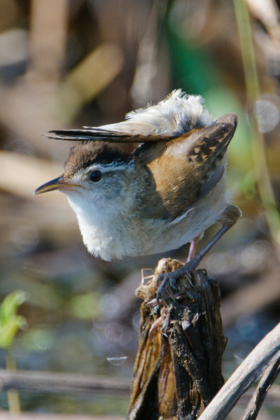 "This falls into the category of, ""I didn't know they could even DO that!""  It looks like this Marsh Wren is using its tail as an umbrella.  I stopped at a large cattail marsh along Hwy 2 in Itasca County and found several of these birds singing and defending their territories.  They are tiny birds, only 4½ - 5 inches long."