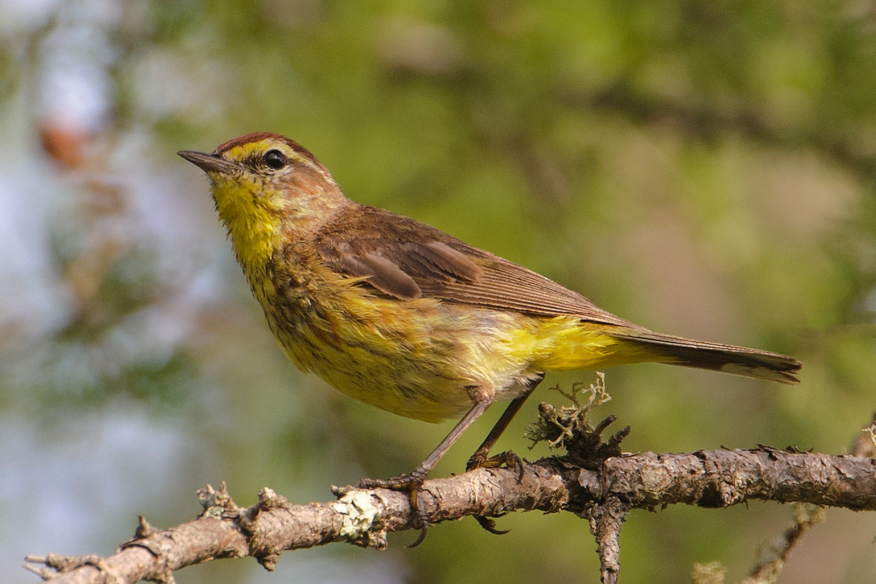 """I photographed this Palm Warbler about a week ago on County Road 72, just south of Warba, MN.  Its body feathers looked rather shabby and I thought it might just be wet from contact with the dew-covered grass.  Then I looked up Palm Warbler in Birds of North America and found that this is the time of year for a partial feather molt for this species.  I'll bet some of the feathers are already missing and the new ones haven't fully developed yet.  Also, look at the feathers on this bird's """"shoulder.""""  They cover part of the wing feathers.  It looks like two or three of them are in place but several others are still to appear."""