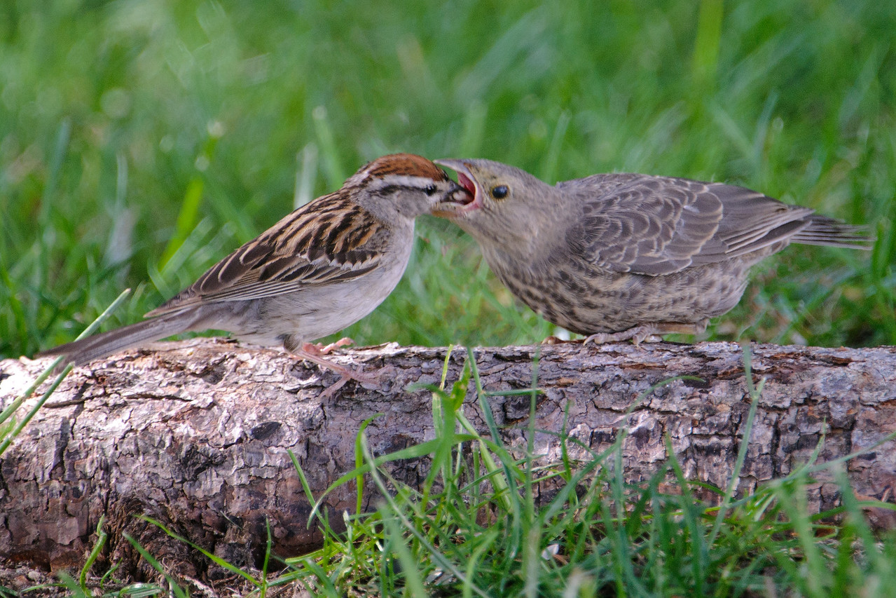 Baby birds often look different than their parents.  But this one looks twice the size of the adult.  That's because the baby is a Brown-headed Cowbird and the adult is a Chipping Sparrow.  Historically, Cowbirds followed herds of Bison as they roamed the prairie.  They feasted on the insects stirred up as the Bison grazed.  This didn't allow the Cowbirds to stay in one place to raise their young.  So, they evolved the habit of laying their eggs in the nests of other birds.  Some of these birds didn't seem to notice that the chick wasn't theirs and raised it just like one of their own.  That's what is happening here.  I took this photo in the yard of my friend Shawn Conrad in LaPrairie, MN (right near Grand Rapids).