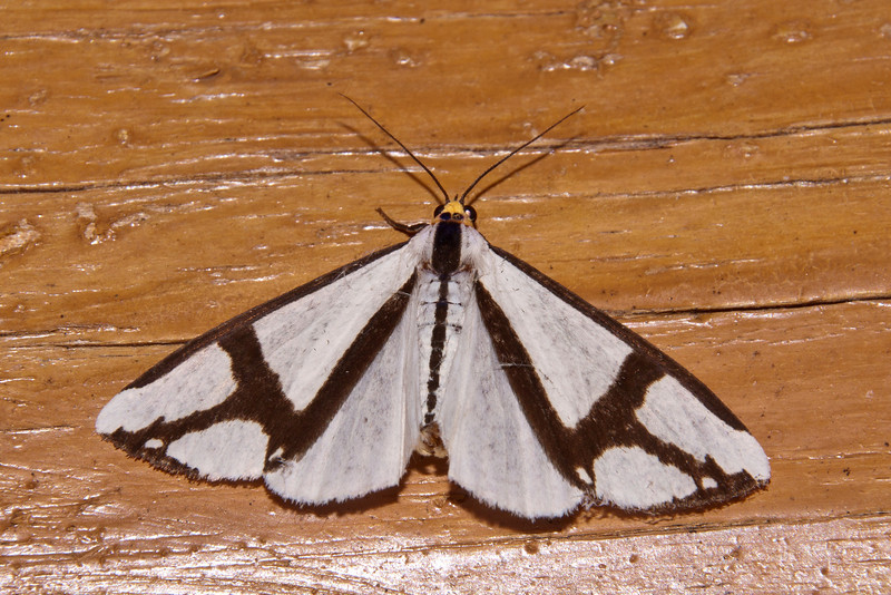 This boldly-patterned moth is simply called The Neighbor.  It has a wingspan of about two inches.
