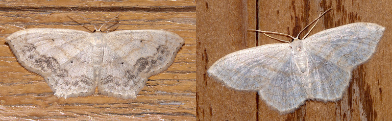 "Sometimes I turn on our porch light for an hour or so after dark just to see which moths will be attracted to the light.  Here are some of them. <br /> <br /> Both of these photos show the same species; a Large Lace-border moth.  There's apparently a lot of variation in how much of the darker ""lace"" pattern is shown.  But you can see that the basic shape of the moth remains the same in both cases.  The brown wavy lines are also consistent on both specimens.  Another identifying feature of the Large Lace-border is the four tiny black dots seen easily in the middle of the wings on the left photo.  They are present in the right photo but just harder to see.  This moth has a wingspan of about one inch."