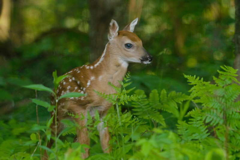About a month ago, this White-tailed Deer fawn and its mother appeared in our yard.  It must have been only a day or two old because it was still kind of shaky on its feet.  I didn't want to scare it away so this picture was taken through two sets of windows.  Notice the big blue eyes.