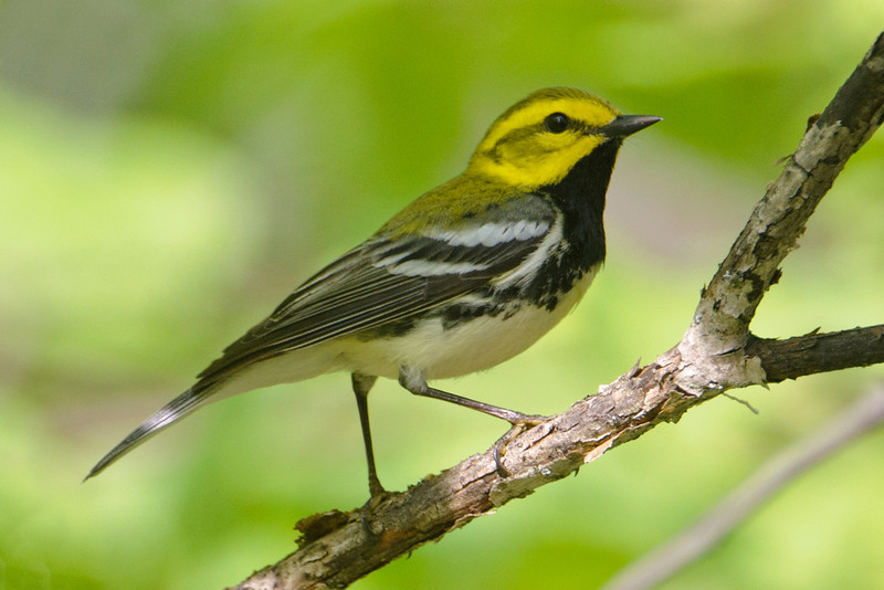 Last week I showed you some warblers that I found near Grand Marais, in the far northeastern corner of Minnesota.  Here's one that is nesting in our woods.  It's a Black-throated Green Warbler.  Northeastern Minnesota and all of Wisconsin are at the western edge of its breeding range.  During winter, it will return to Central America or the northern part of South America.