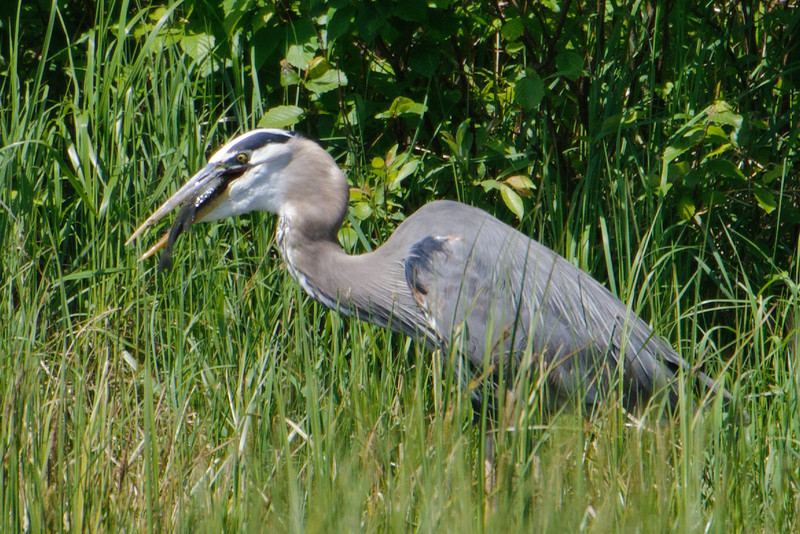 Here's a Great Blue Heron at our lake about to swallow a fish that it just caught.  The fish looks like a nice big Sunfish to me.