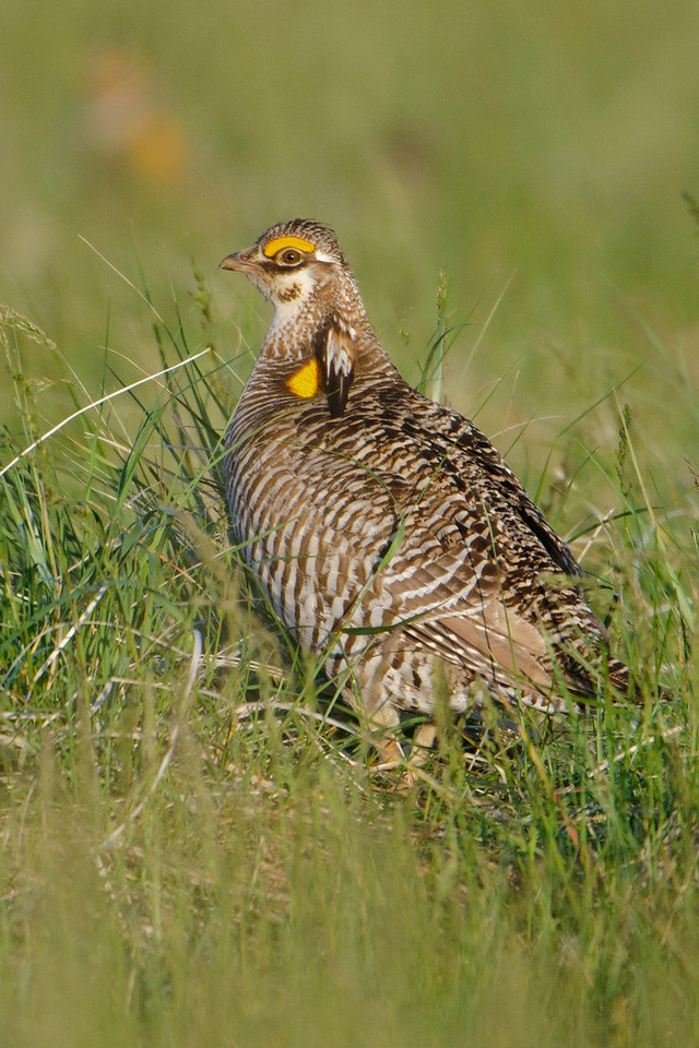 At the Prairie Bird Workshop I attended in South Dakota, we had access to several blinds set up at Greater Prairie Chicken courting grounds.  These areas, called leks, are places where male Prairie Chickens, like the one in this photo, gather to do their courting displays.  It's like a singles bar, with all the males trying to outdo each other.  I went to watch the Prairie Chickens with two other workshop participants.  We had to be in the blind before sunrise, which was about 5:30 a.m., so we didn't disturb the birds.