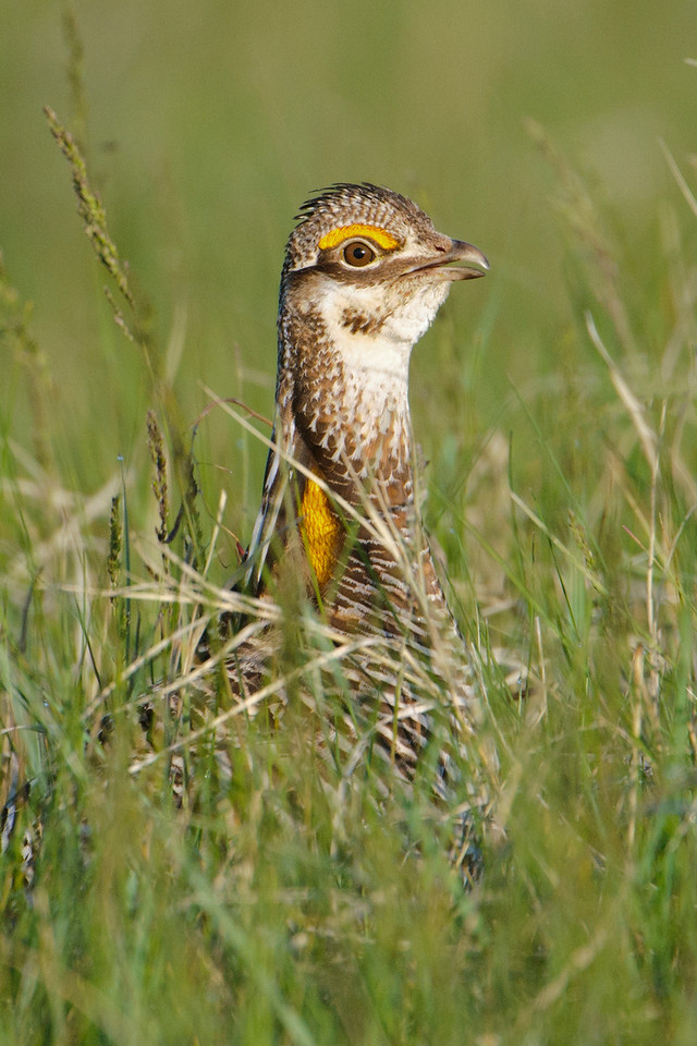 Here's a close up of a male.  The grass was fairly high, so sometimes we couldn't see everything that was going on.