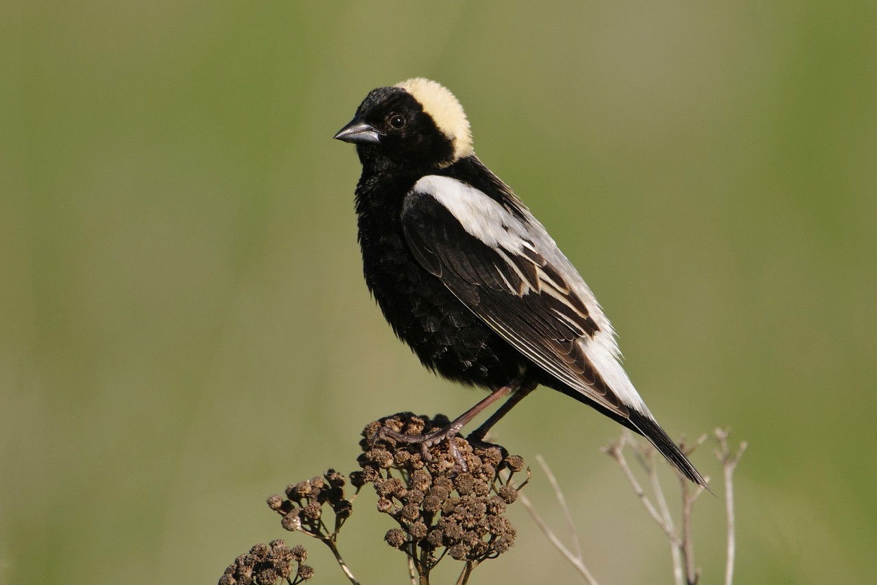 "Let's move away from the shoreline and into a meadow where you'll find this bird, a male Bobolink.  Often you'll hear his bubbly, tinkling song before you see him.  Usually, when birds have both light and dark feathers, the light ones are on the underside.  The Bobolink seems to have this backwards.  His yellow ""cap"" always makes me smile; it looks like he's wearing a curly blond wig.  Bobolinks nest in hayfields or wet meadows across most of the northern United States and southern Canada.  In winter, they make a long migration trip to southern South America."