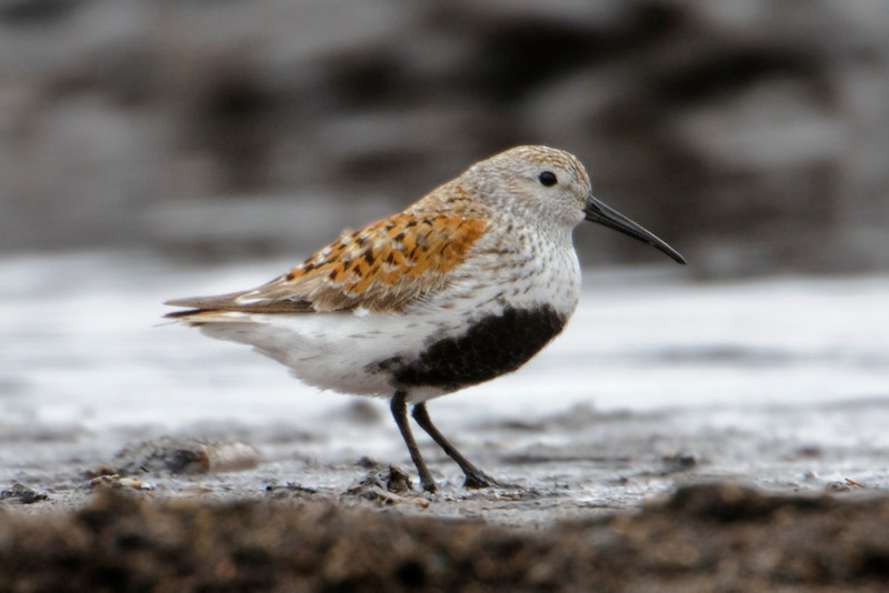 "During spring migration, flocks of shorebirds are often seen along the shoreline of Lake Superior.  Duluth is a good place to see some of these birds in their most colorful breeding plumage.  Here's a photo of a Dunlin that was taken at Minnesota Point in Duluth.  This bird is on its way to the far northern edges of North America where it will breed on the tundra.  Note the dark patch on its belly; this aids in keeping the eggs warm when the bird is nesting.  (See my June 3 pictures for a more detailed explanation).  In winter, Dunlin are found along the east and west coasts of the United States.  When I see them in Florida, they are much less colorful.  Here's a link to a photo of a Dunlin in non-breeding plumage. <br />  <a href=""http://www.earlorfphotos.com/Birds/Birds-1/5685565_PXvJ44#!i=1921133804&k=DfdCkkJ"">http://www.earlorfphotos.com/Birds/Birds-1/5685565_PXvJ44#!i=1921133804&k=DfdCkkJ</a>"