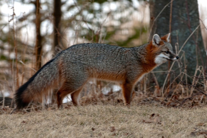 This is a really beautiful little animal.  Note the grizzled gray fur and the rust-colored outlines.  Its ears are lined with white and it has a white throat.  A line of black fur runs along the top of the tail and its tail has a black tip.