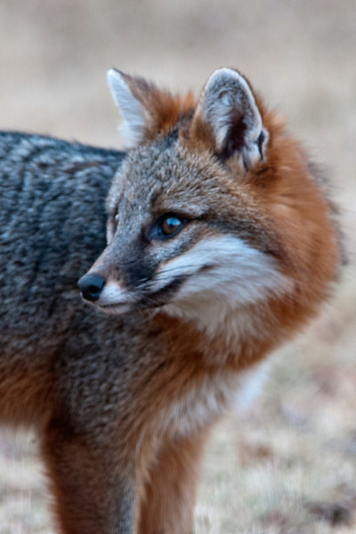 Gray Foxes are pretty small.  They stand 14-15 inches tall, with a 22-24 inch long body, and a 10-15 inch tail.  I thought this one looked about the size of a large house cat