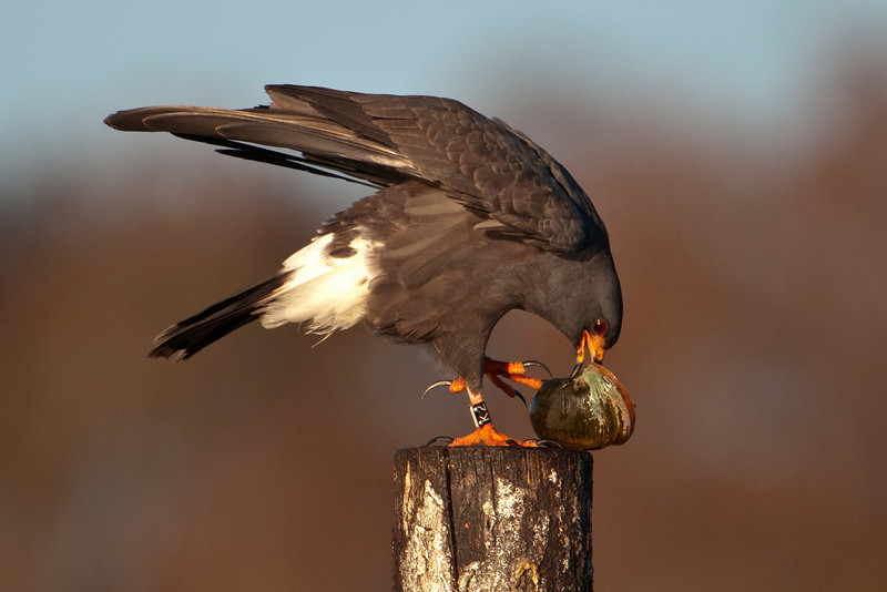 The snail is then taken to a perch where the kite uses its bill to reach in and cut the muscle holding the snail to its shell.  Jim told us that one Snail Kite will eat 10 to 12 snails a day.  During courtship, one of the ways a male will try to impress a female is to bring her a snail (already out of the shell) to eat.
