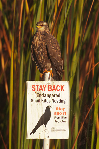 There is a very active effort to help increase the number of Snail Kites.  Signs like this are posted near the nesting areas.  We were there in January and the birds hadn't started nesting yet, so we were able to get close photos.  Many of the kites on Lake Toho have been banded, like this one.  Some have even been fitted with radio transmitters to help keep track of them.  <br /> <br /> This was a rare opportunity for me because I had never seen a Snail Kite before.  It became life bird number 700.